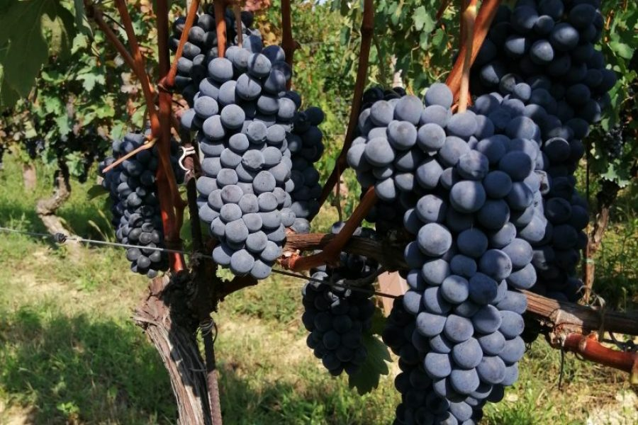HARVEST 2019 –   Stands to be a very promising vintage